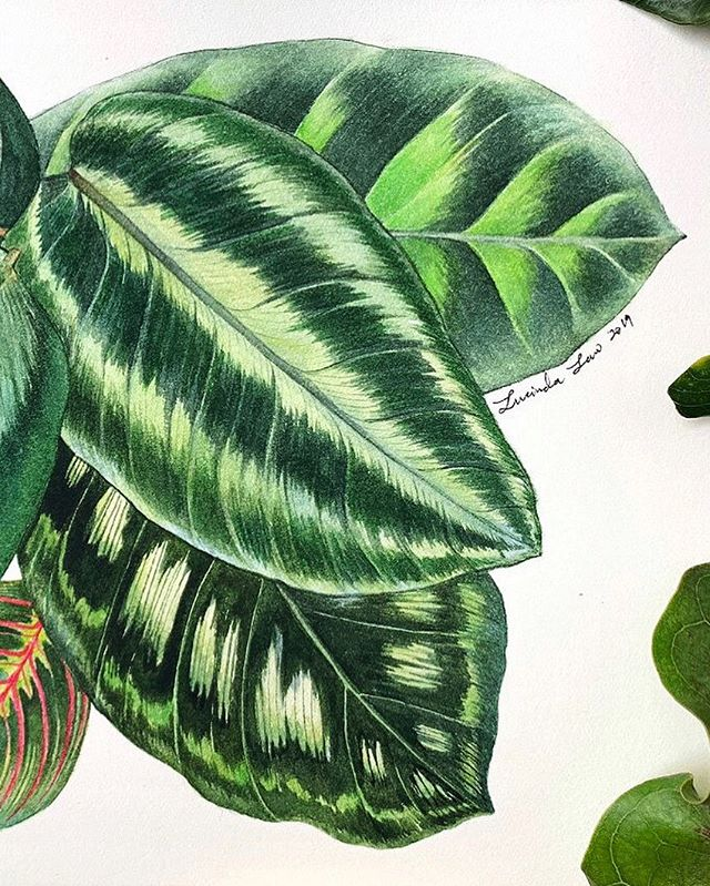 Finding out where the wild things are kind of weekend.  Research, ideation & creation for new exciting commissions begins!  #lucindalaw #withinartnature #botanicalart #Botanical #Botanicalpainting #maranta  #calathea #marantaceae #foliage #Botanicalillustration #Botanicalartlovers #Botanicalartist #Botanicaldrawing #Botanicalwatercolour #leaf #leaves #Botanicalwatercolor #plantart #plantillustration #plantsplantsplants #watercolours #Watercolour #watercolor #watercolour_gallery #winsorandnewton