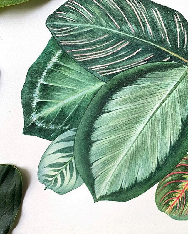 Foliage Beauty.  One of the five paintings in a recent commission comprising of mural and paintings.  410 x 310cm Watercolour  2019 Paint & brushes: @winsorandnewton #winsorandnewton  Paper: @st_cuthberts_mill Saunders & Waterford. White HP. 300gsm.  #lucindalaw #botanicalart #Botanical #Botanicalpainting #foliage #Botanicalartlovers #Botanicalartist #plantart #plants #illustration #maranta #calathea #marantamonday #urbanjungle #plantsofinstagram #plantsmakepeoplehappy #leaf #leaves #plantillustration #plants #artoftheday #igsg #singapore #houseplantclub #watercolours #Watercolour #watercolor #green #plantsplantsplants