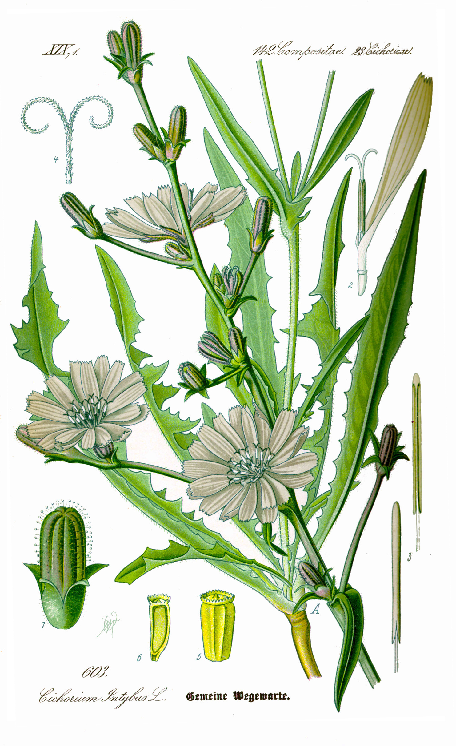 Chicory.  By Original book source: Prof. Dr. Otto Wilhelm Thomé Flora von Deutschland, Österreich und der Schweiz 1885, Gera, Germany - www.biolib.de, Public Domain, https://commons.wikimedia.org/w/index.php?curid=7046954