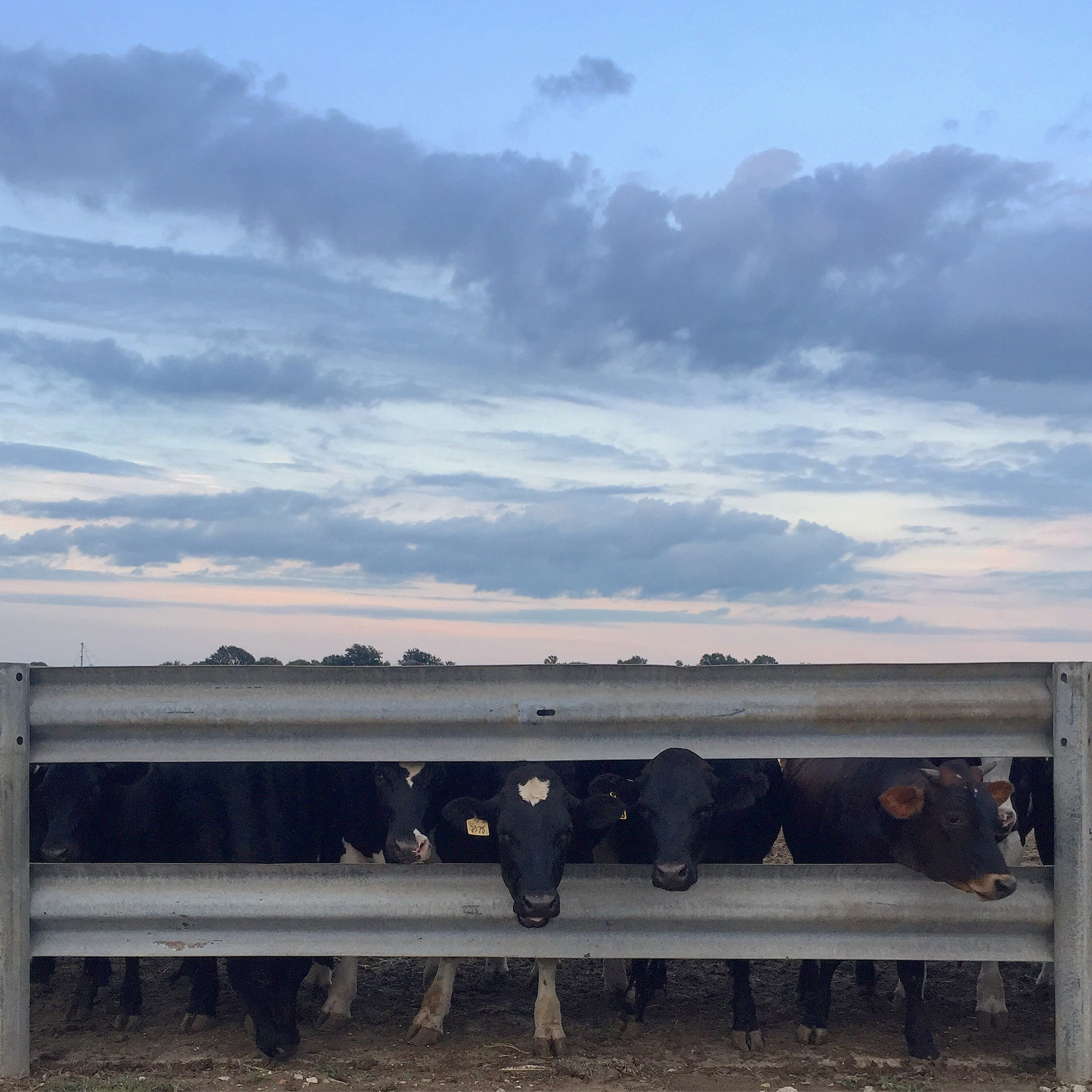 Cows at twilight.