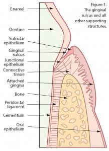 Gum-structure-217x300.jpg