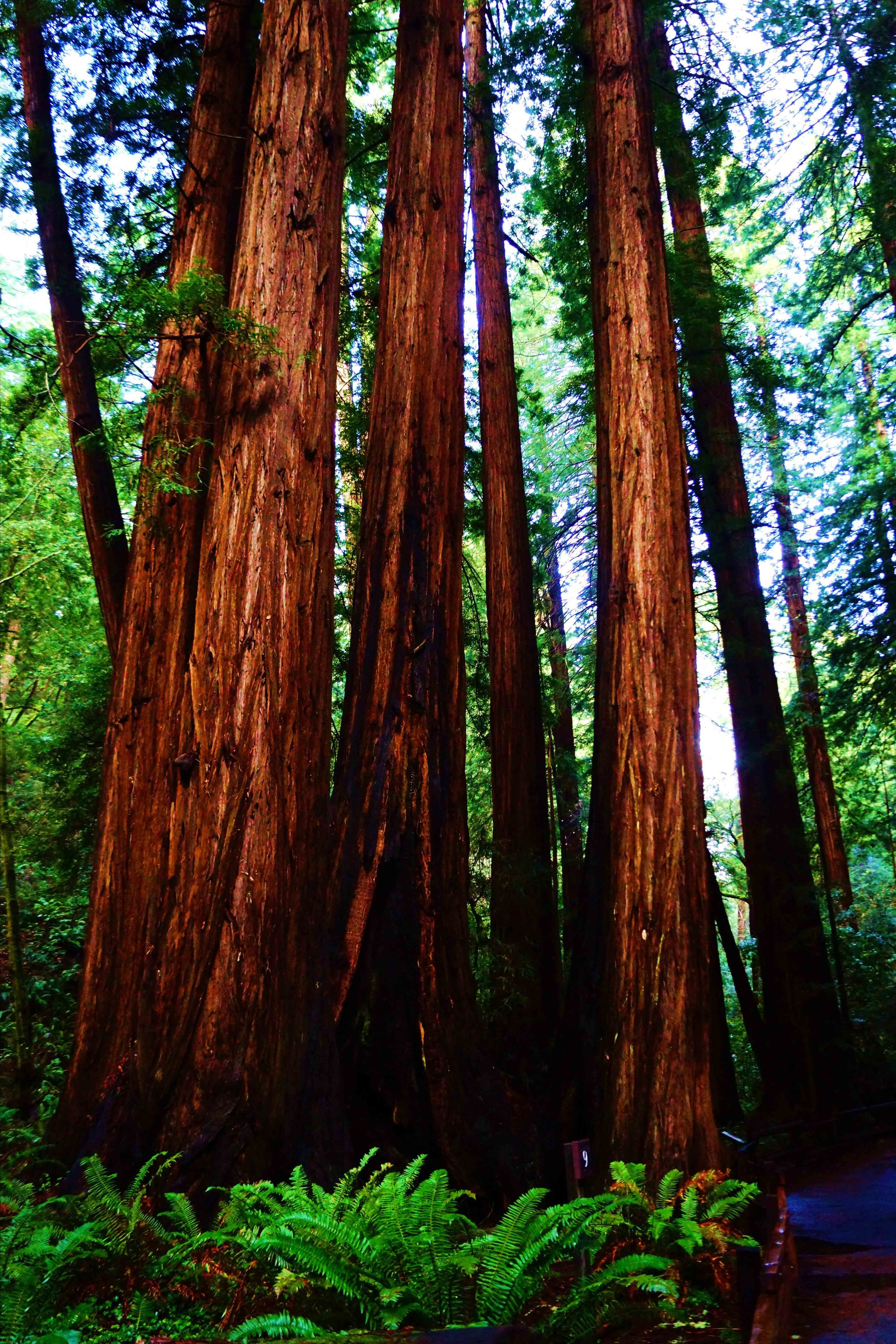 Muir Woods, California, December 2012