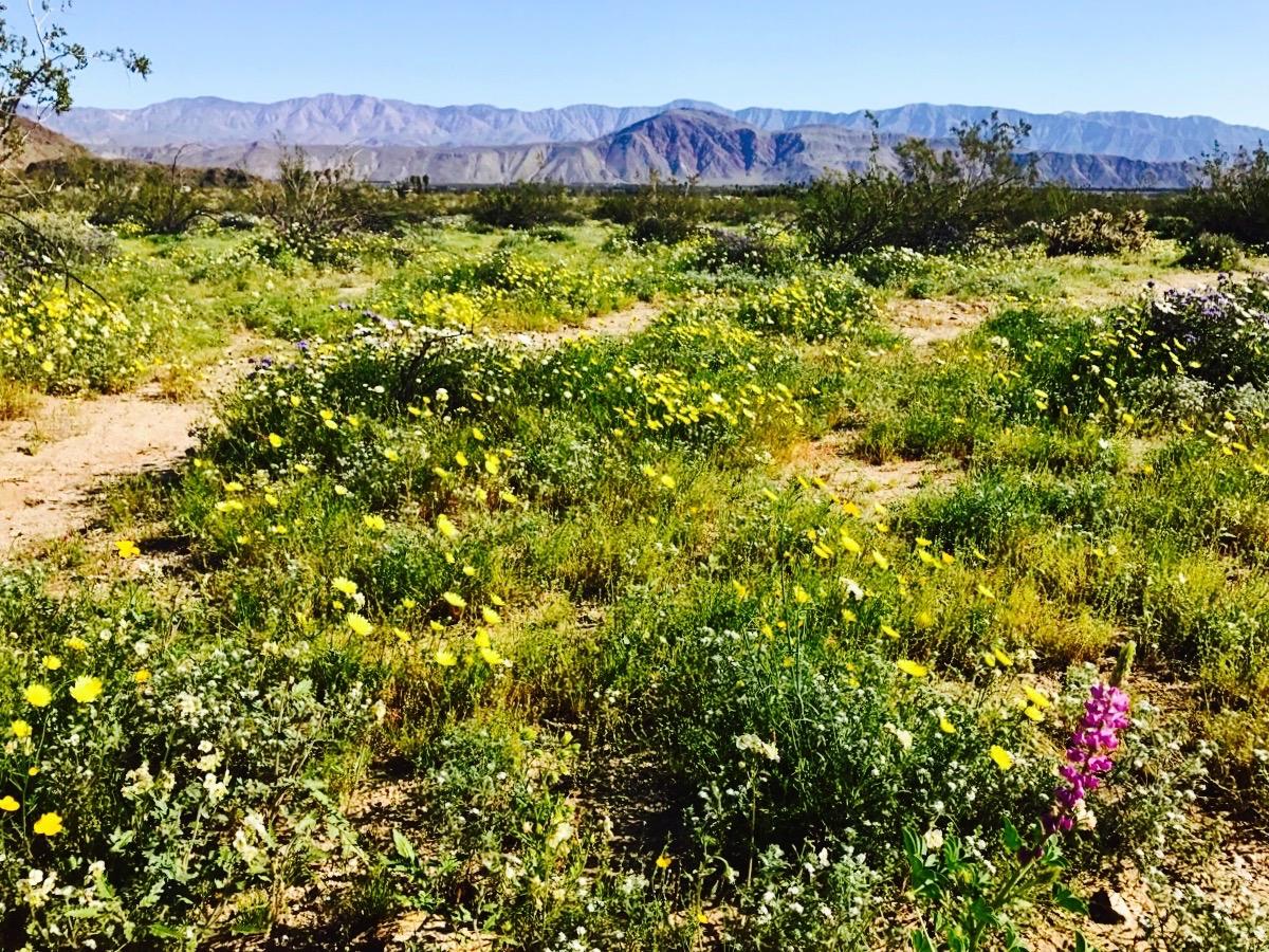 Anza-Borrego Desert State Park, March 2017