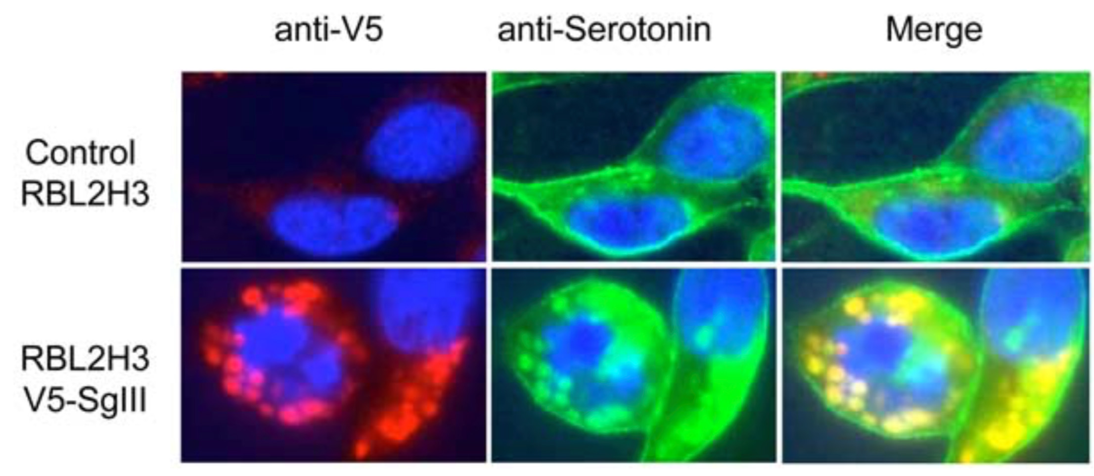 [14] SCG3 over expression causes vesicle formation in mast cells.