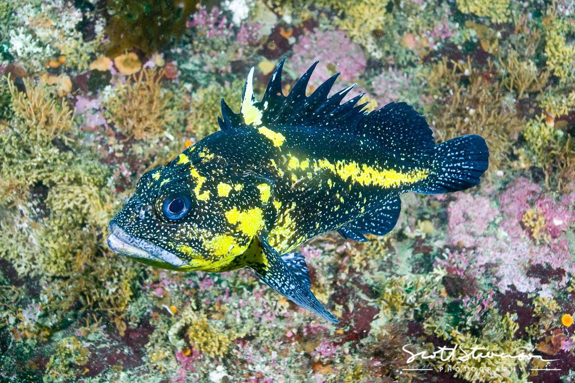 China Rockfish-3.jpg