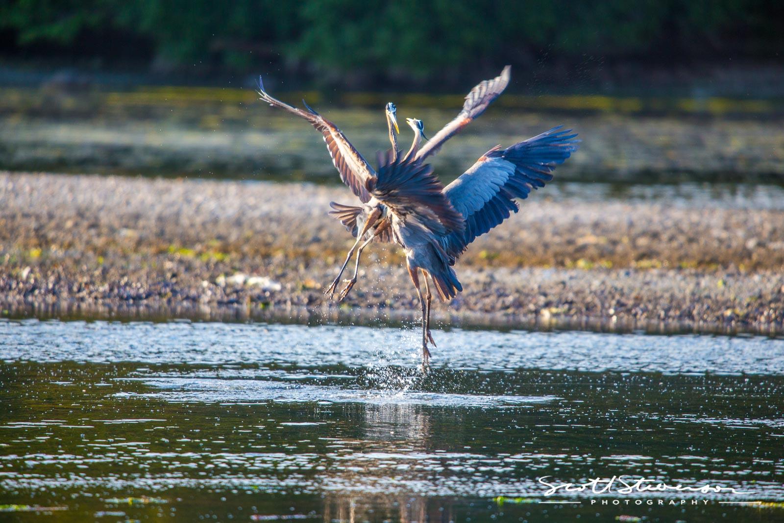Blue Heron-2.jpg