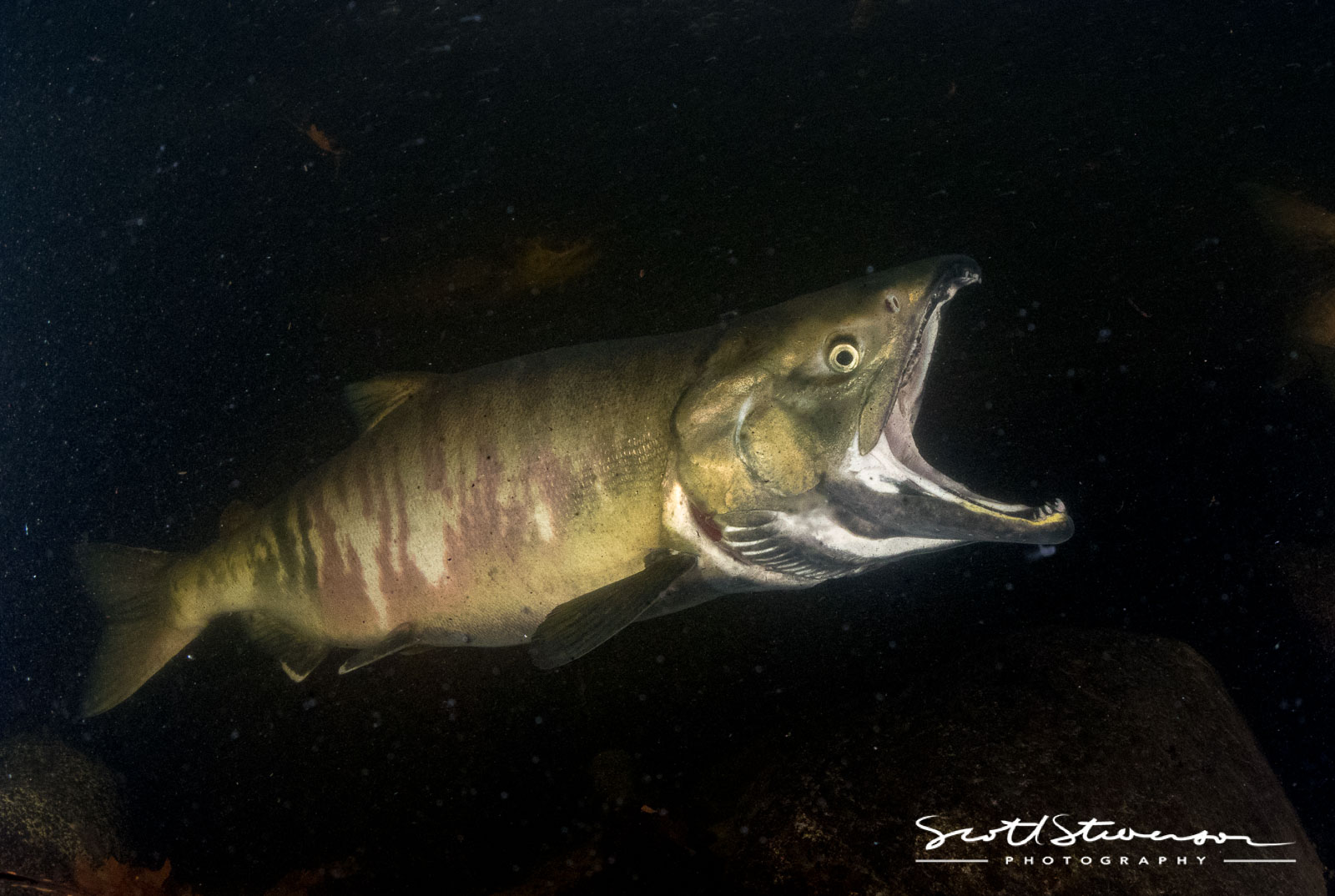 Chum Salmon-1.jpg
