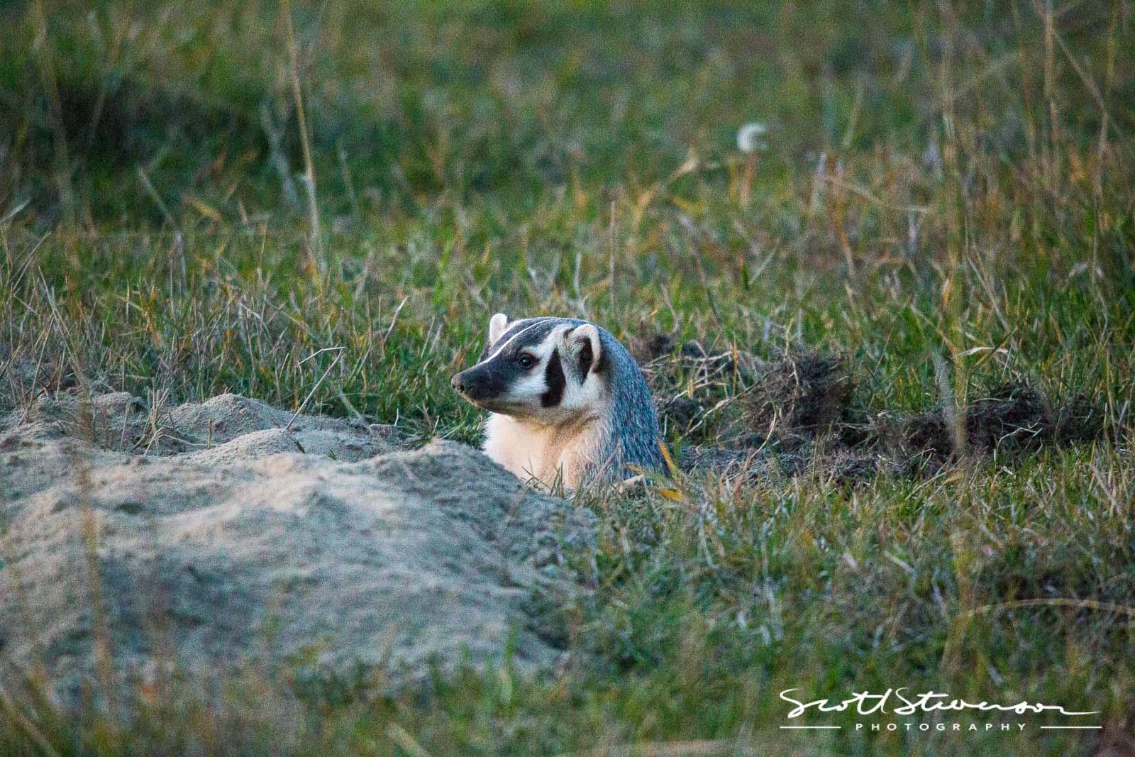 North American Badger-1.jpg