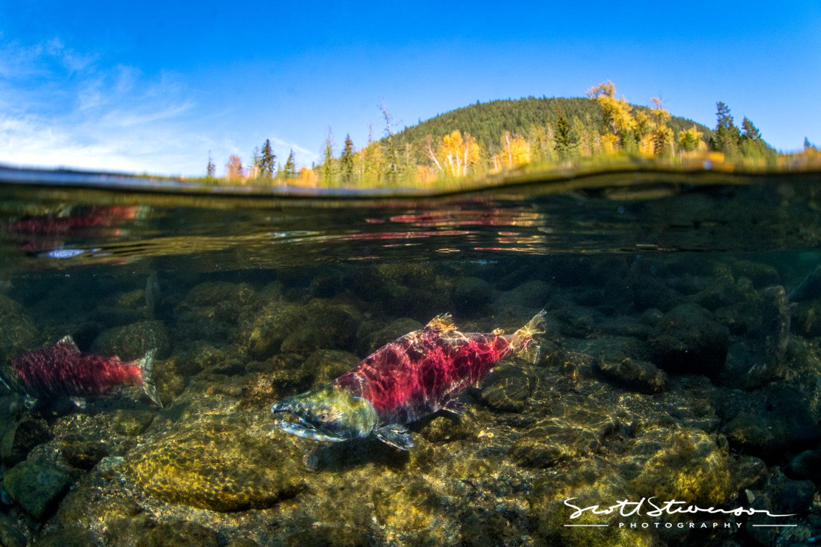 Sockeye Salmon-1.jpg