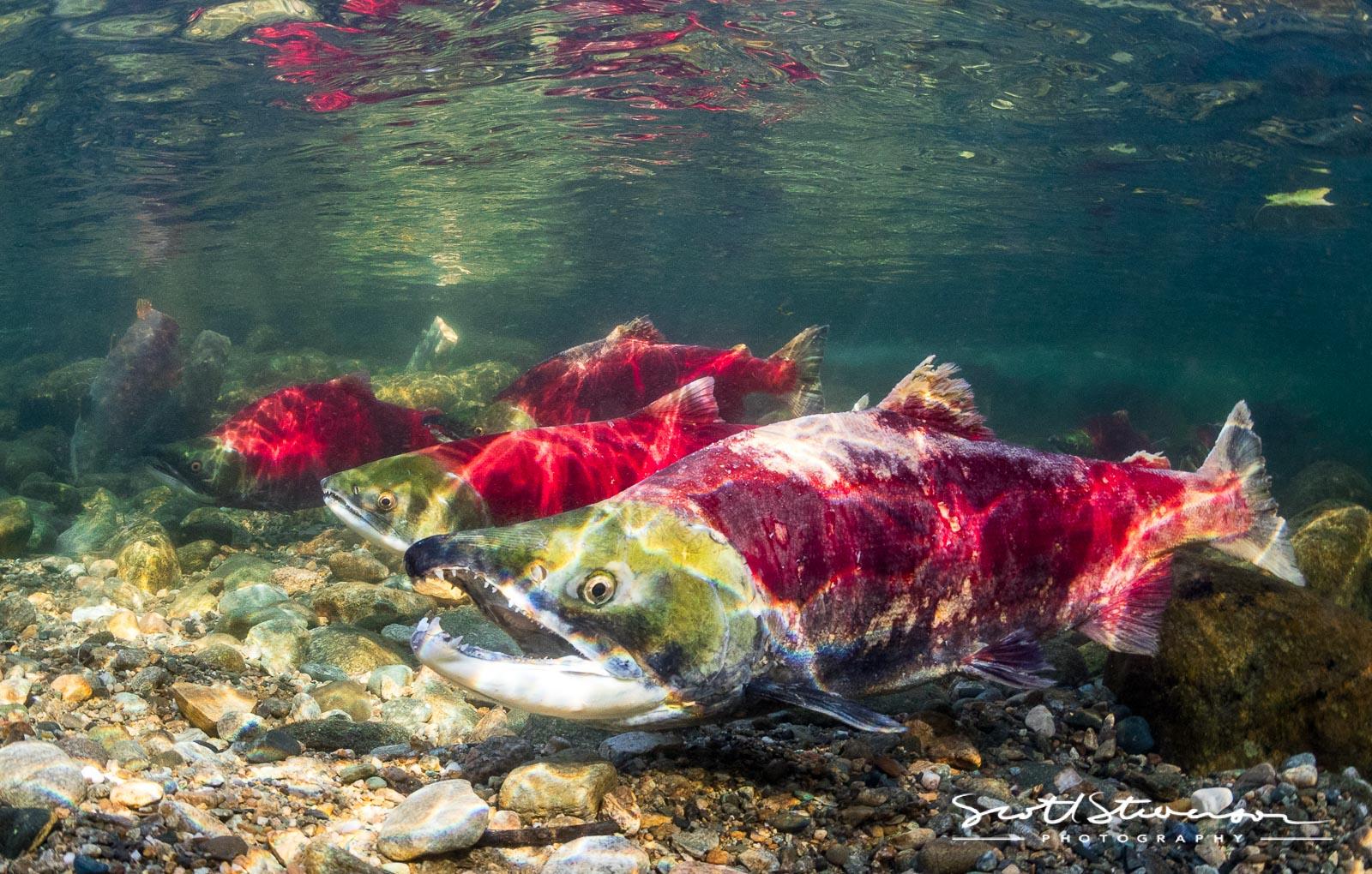 Sockeye Salmon-2.jpg