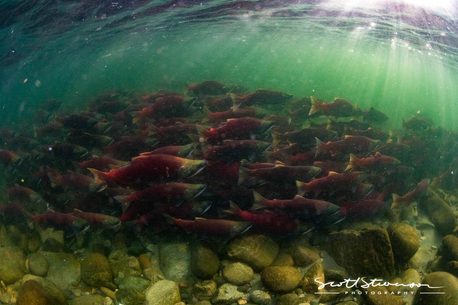 Sockeye Salmon-3.jpg