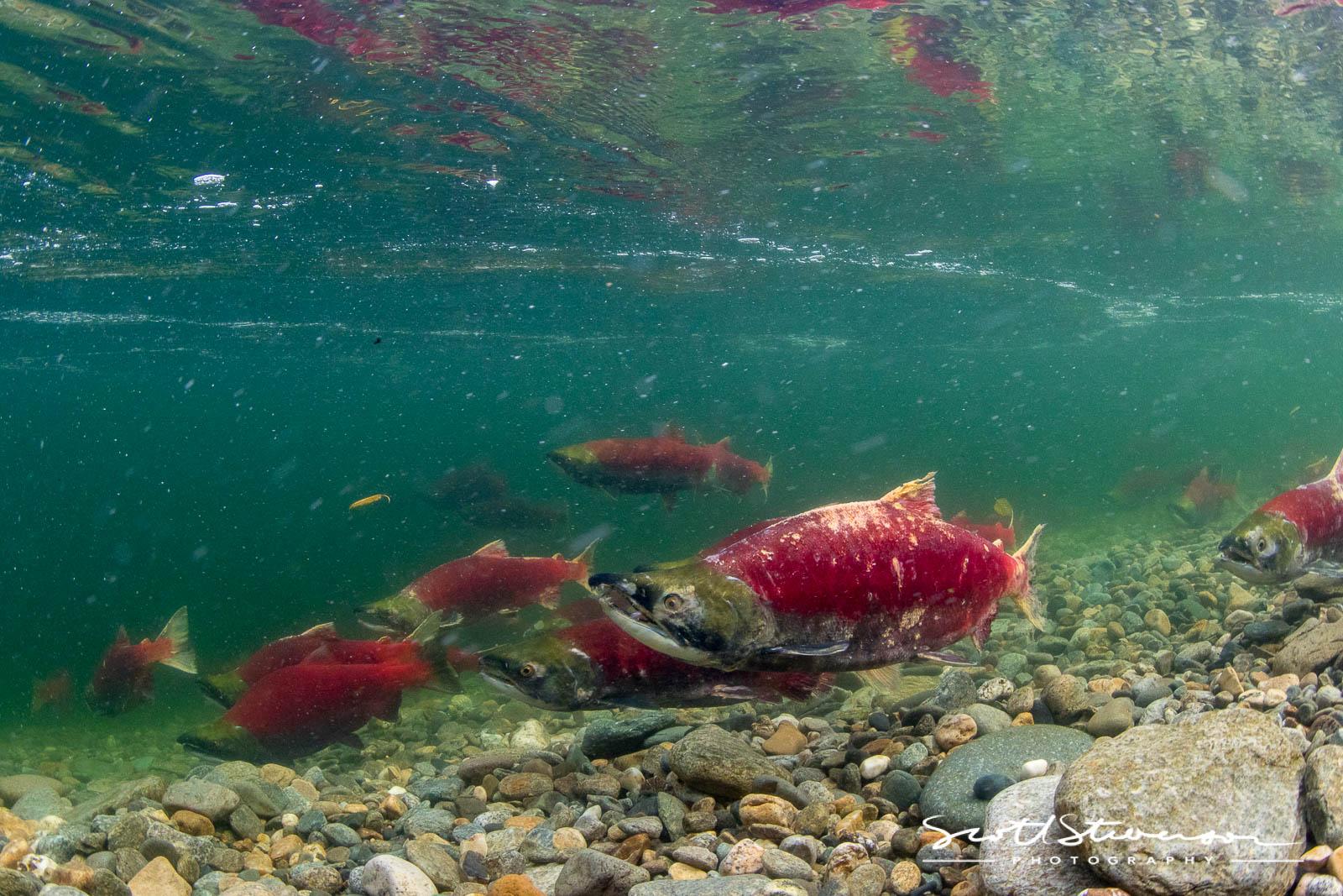 Sockeye Salmon-4.jpg