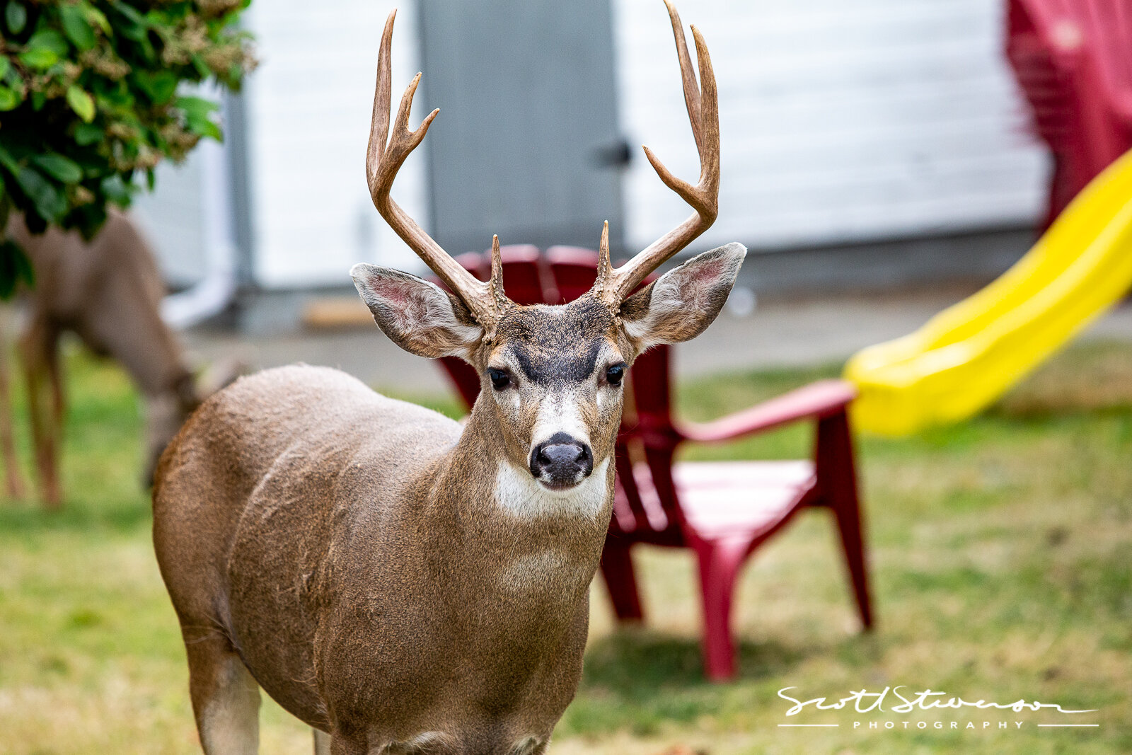 Whitetail Deer-3.jpg