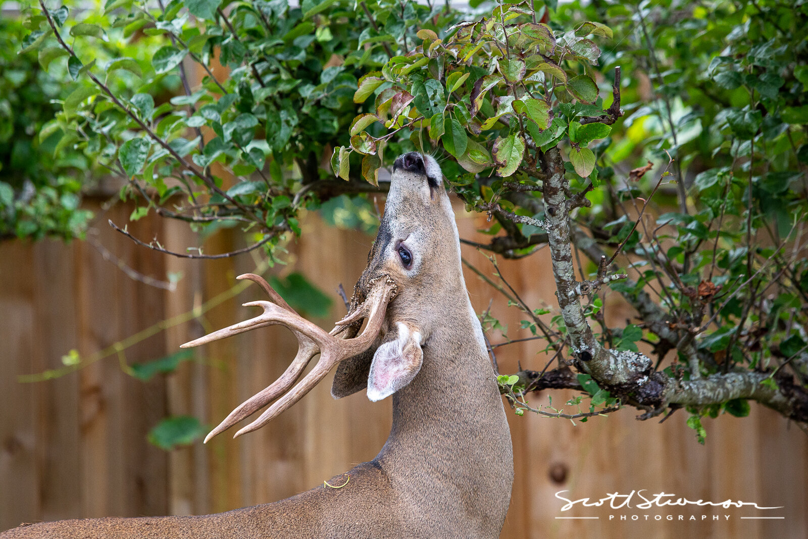 Whitetail Deer-1.jpg