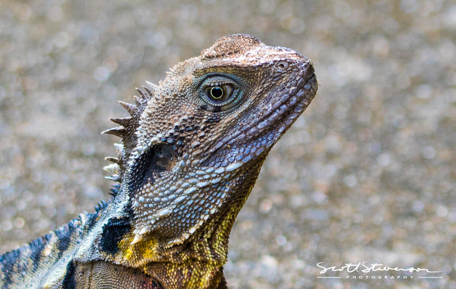 Yellow Lizard-1.jpg