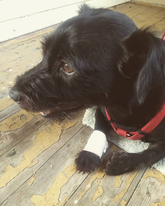 I got a boo boo in my little leg, and now I need to see a Dr... #linus #princelinus #prince #monday #puppy #injured #ouch #Drappointment #suckstobeme #great #puppiesofinstagram #pup #doggo #doggy