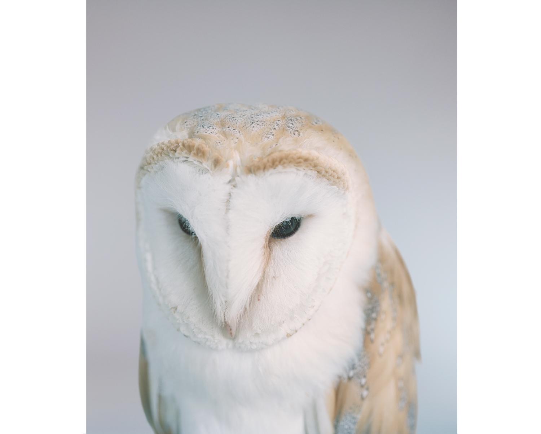 Barn Owl, 2014