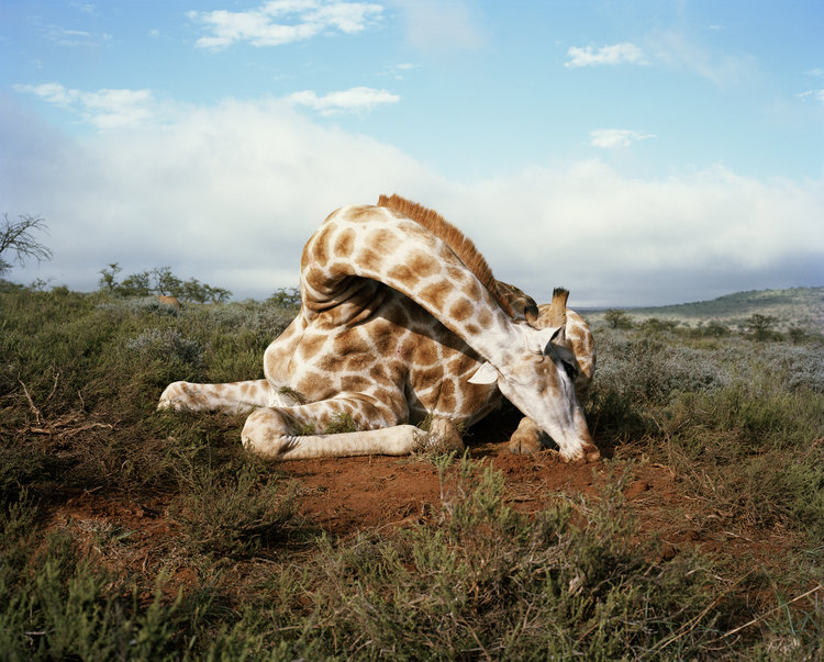 fallen+giraffe,+somerset+east,+eastern+cape,+south+africa-from+the+series+'the+fallen'+David+Chancellor.jpg