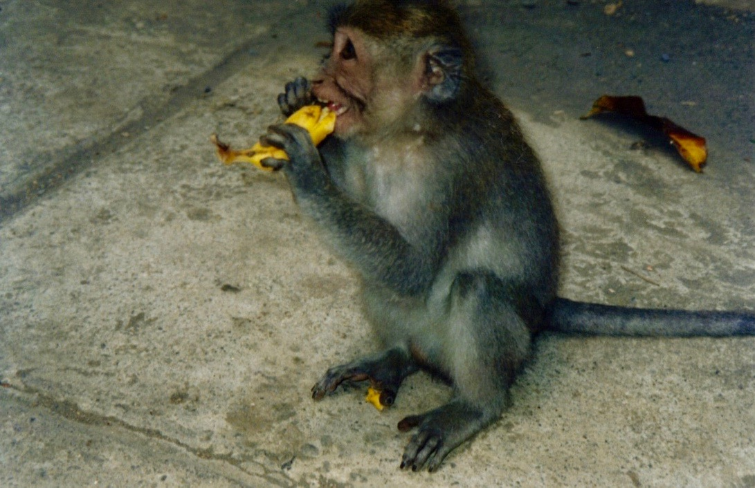 Bali Monkey Eating Banana.jpg