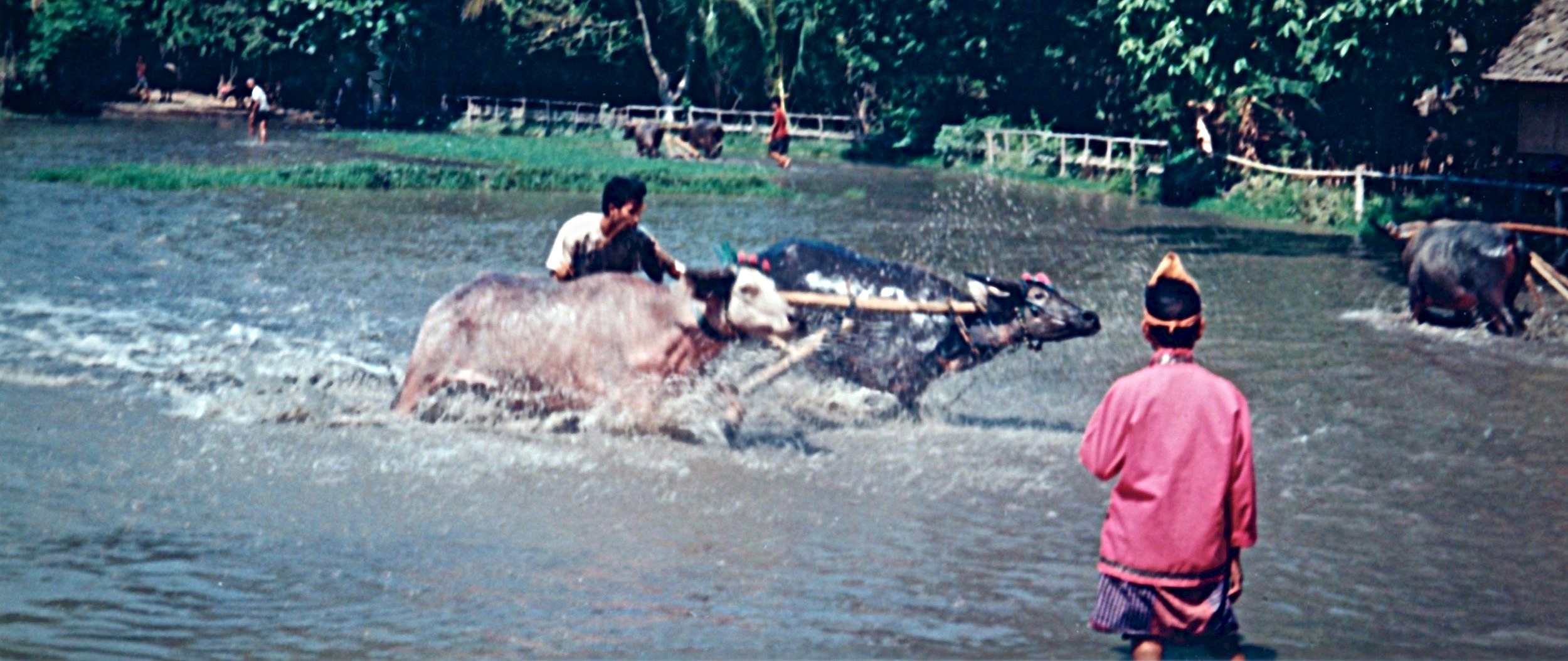 Indonesia Water Buffalo Races.jpg