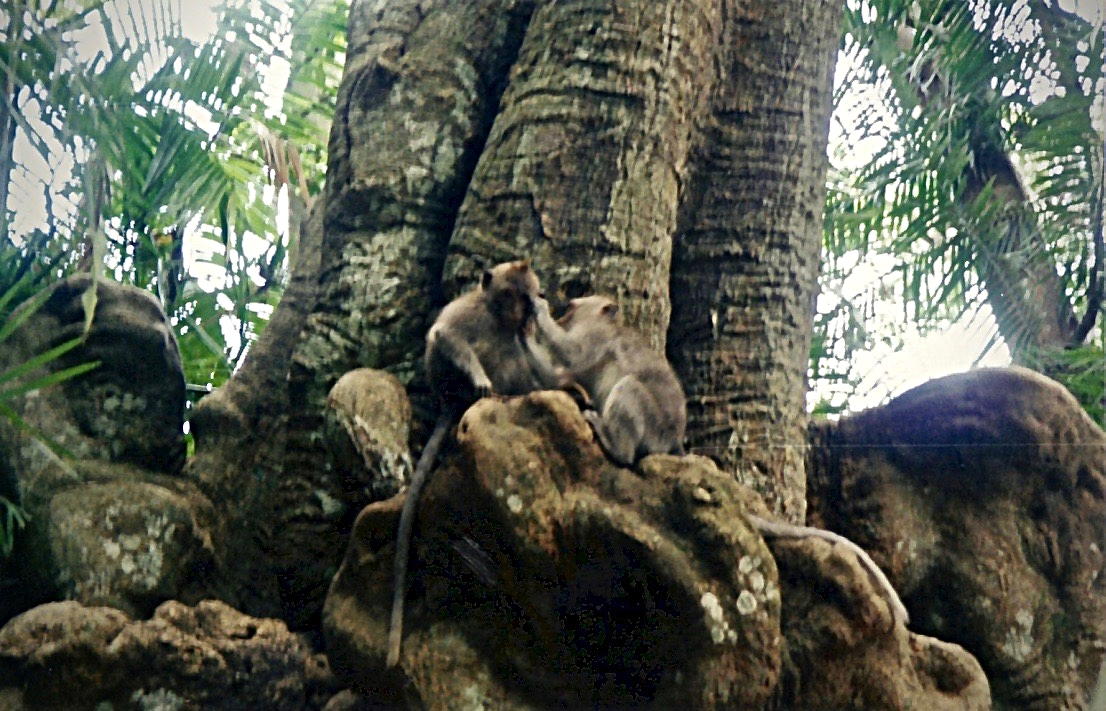 Bali Monkey Forest Nit Picking.jpg