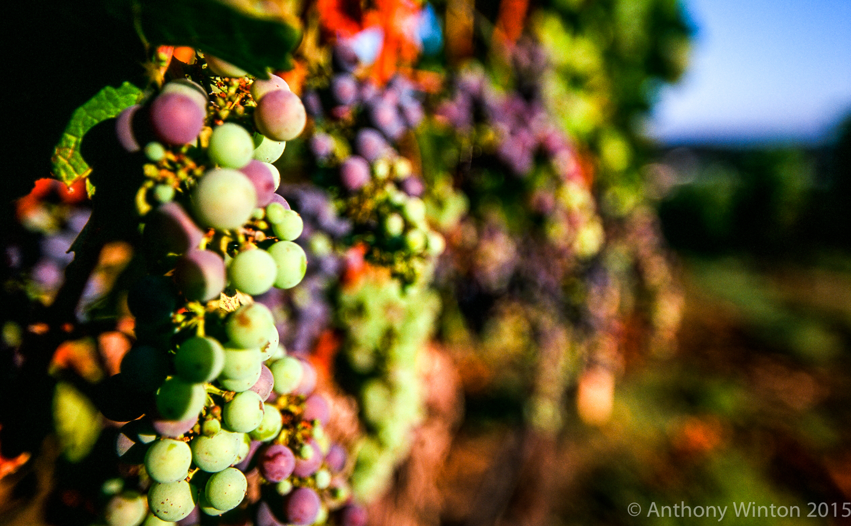 Ripening Harvest, Napa
