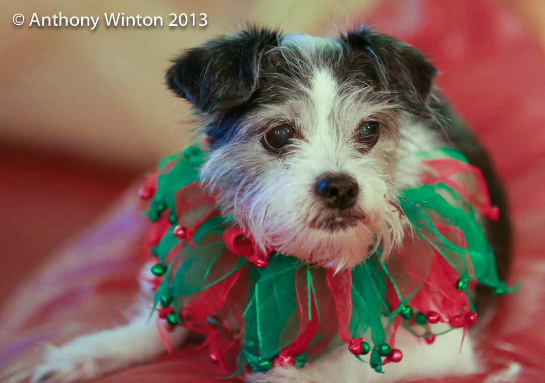 JINGLE DOG. Coco decked out for the holidays, 2013.