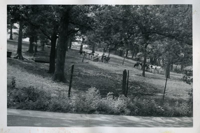 Cattle browsing, U.S. Soldiers Home farm, ca 1948