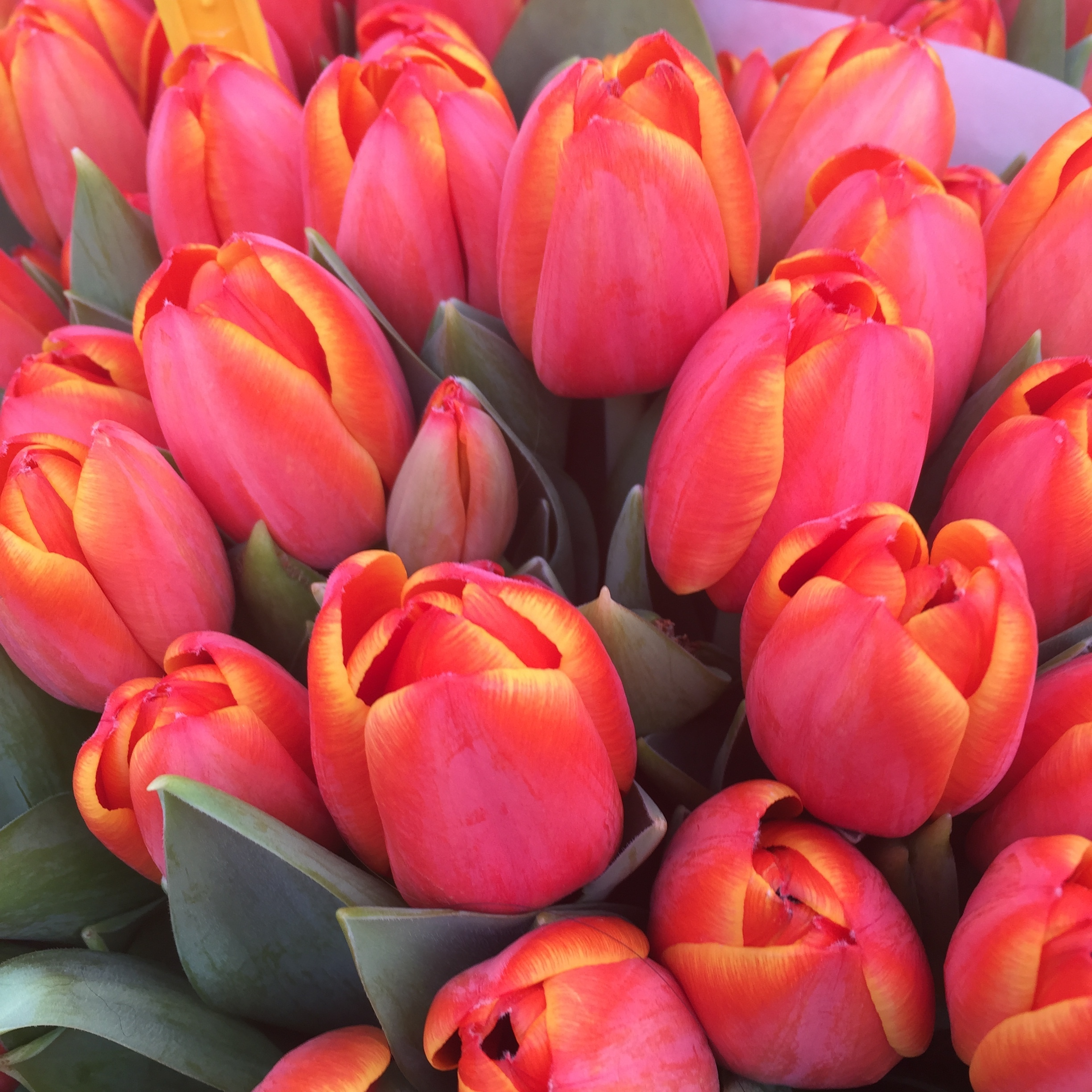 My favorite yellow-tipped red tulips for sale in Amsterdam's Albert Cuypmarkt.