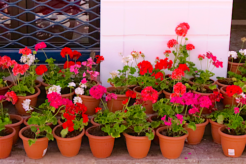 Geraniums on a doorstep in Casablanca's Old Medina