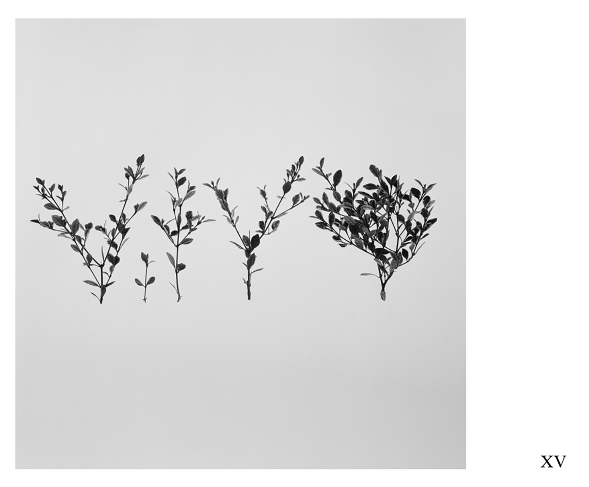 Images from the series  A Study of Ornamental Plant