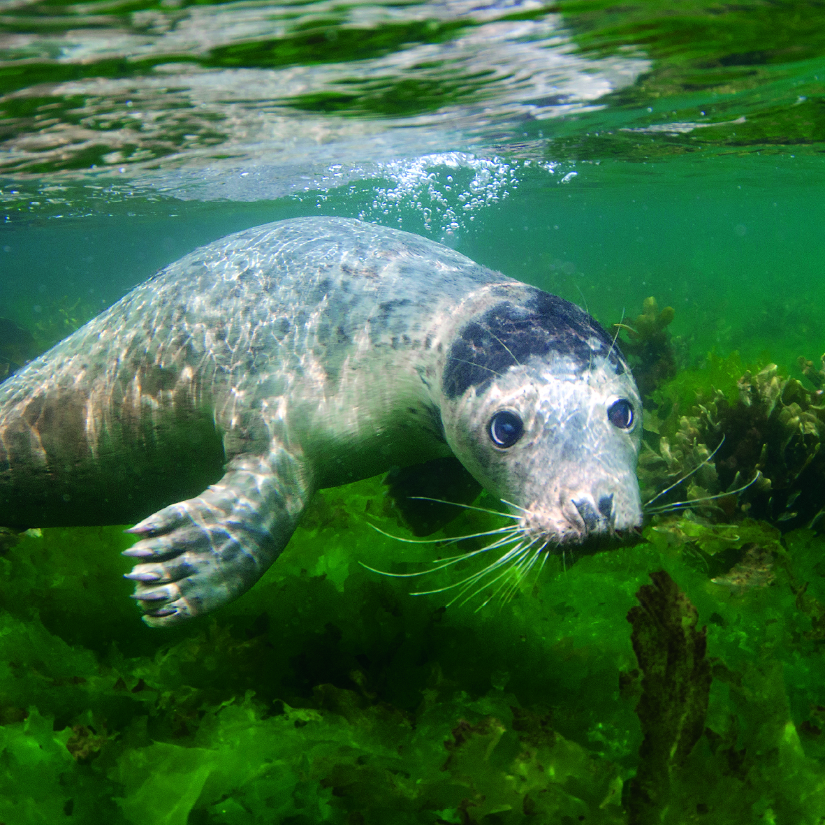 Swimming Seal from The Wildlife Trust's Collection published by Glebe Cottage.jpg