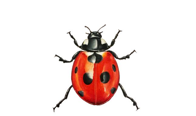 RC - Ladybird.png