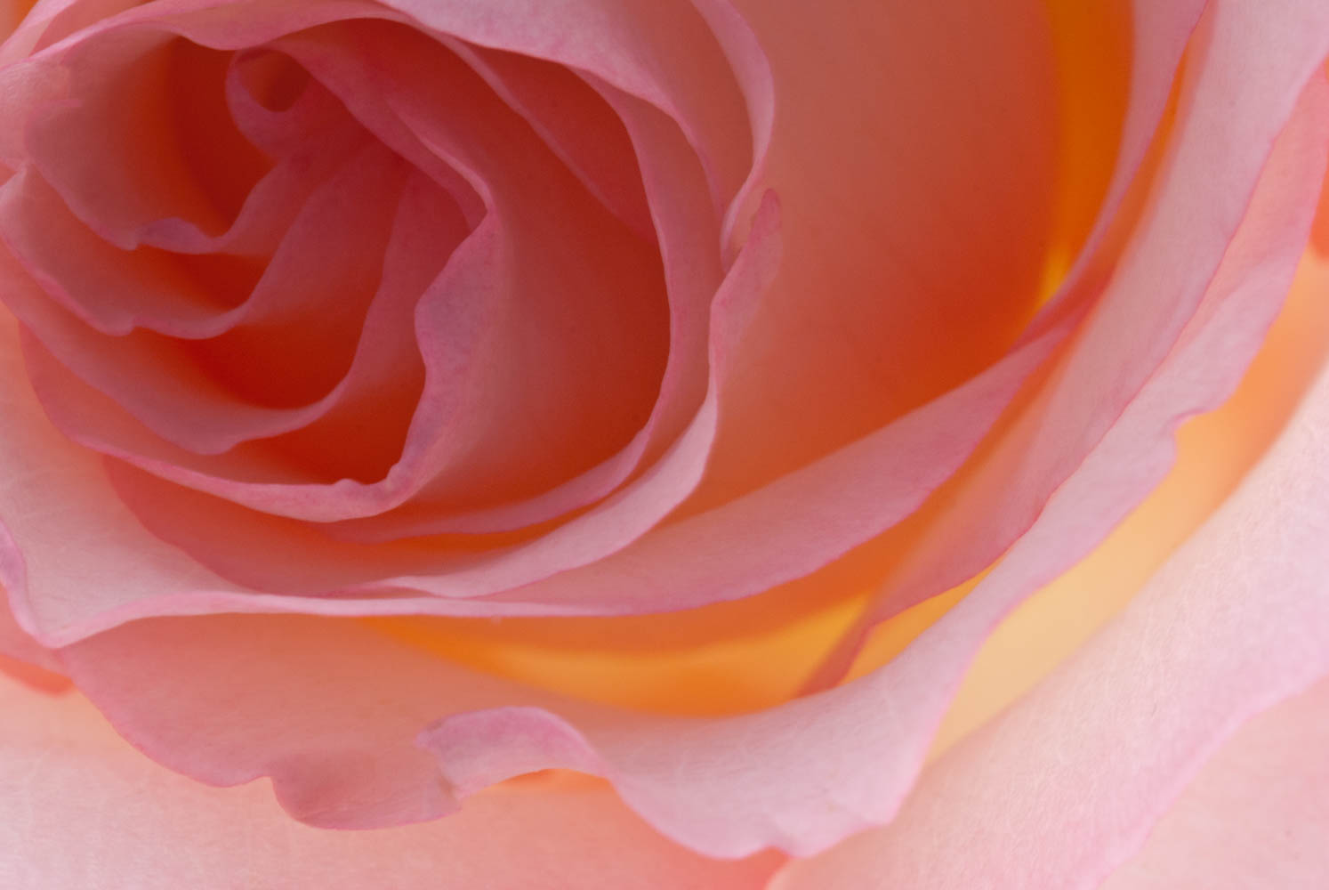 Peach White Rose 4-2.jpg