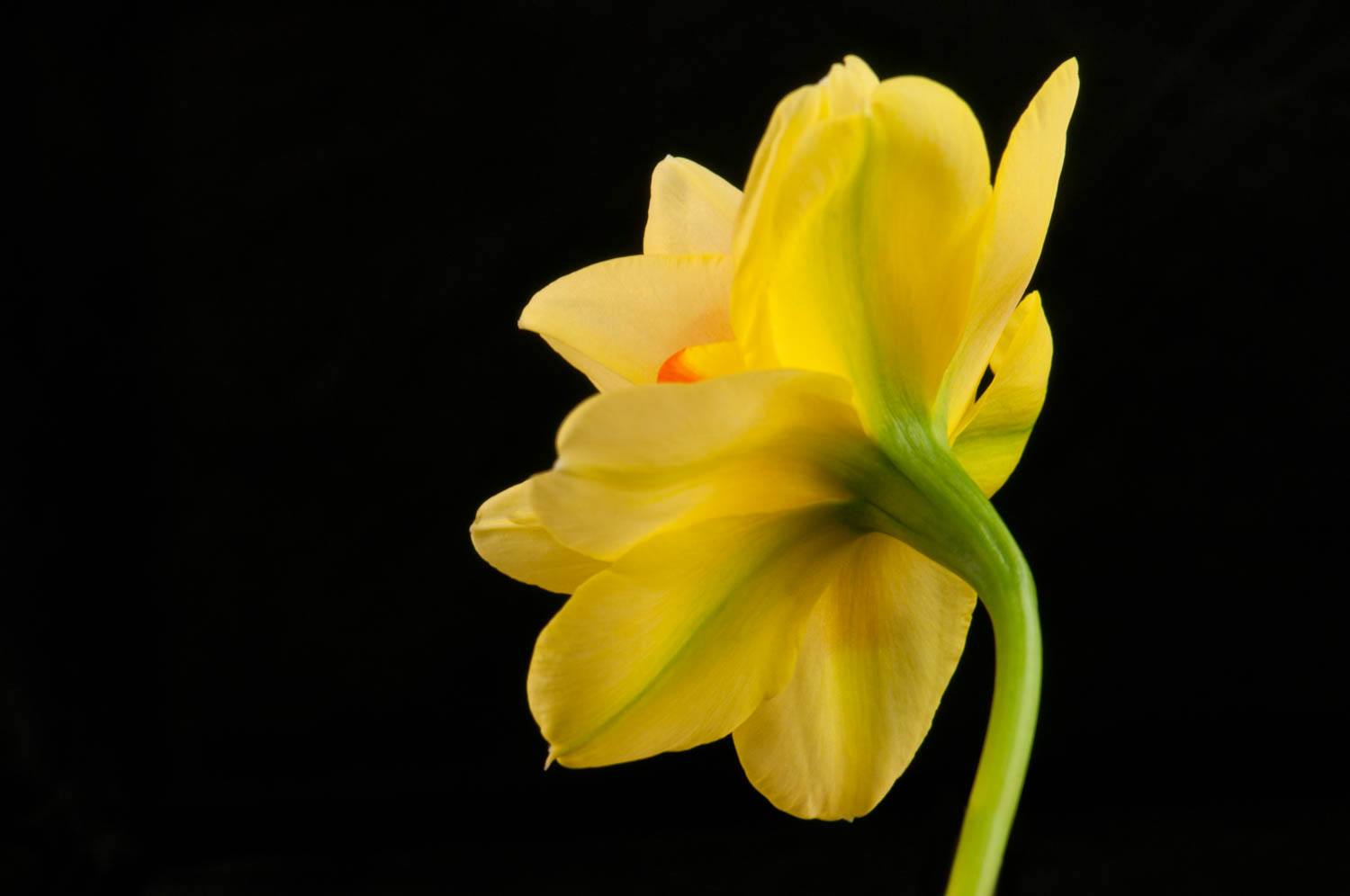 Yellow and Orange Daffodil on Black 2-2.jpg