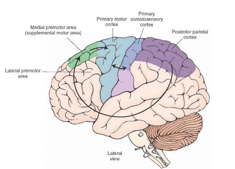 pre-motor cortex what-when-how.com .jpeg