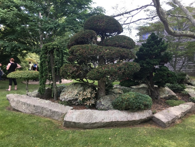 A mature Acer palmatum Shishigashira.