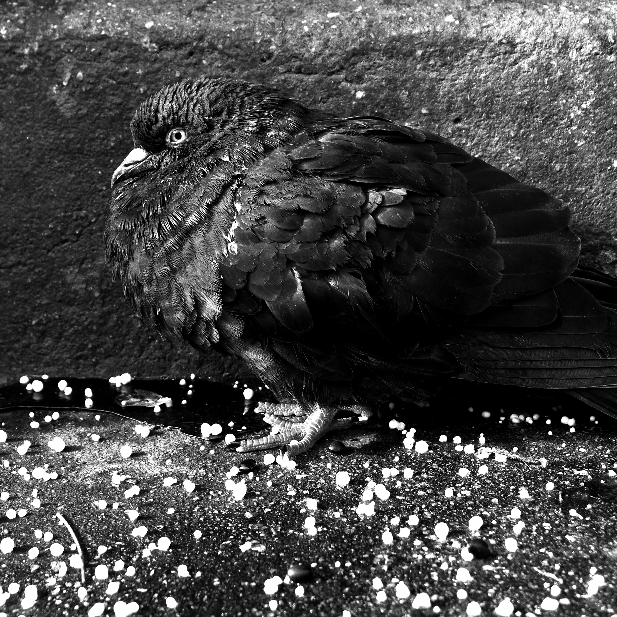 Lighter Pigeon.jpg