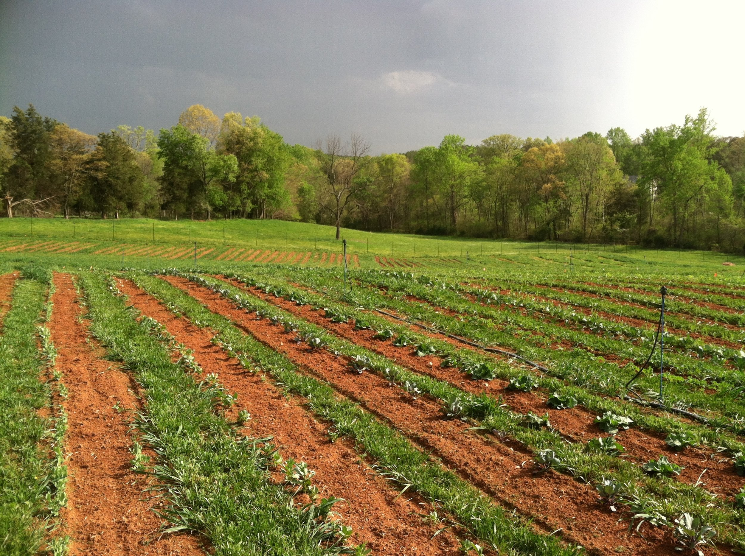 """The """"zone two row"""" rotation without the prior year's cover crop to make it zone-till. Peas, cabbage, kale, beans, corn, and tomatoes."""