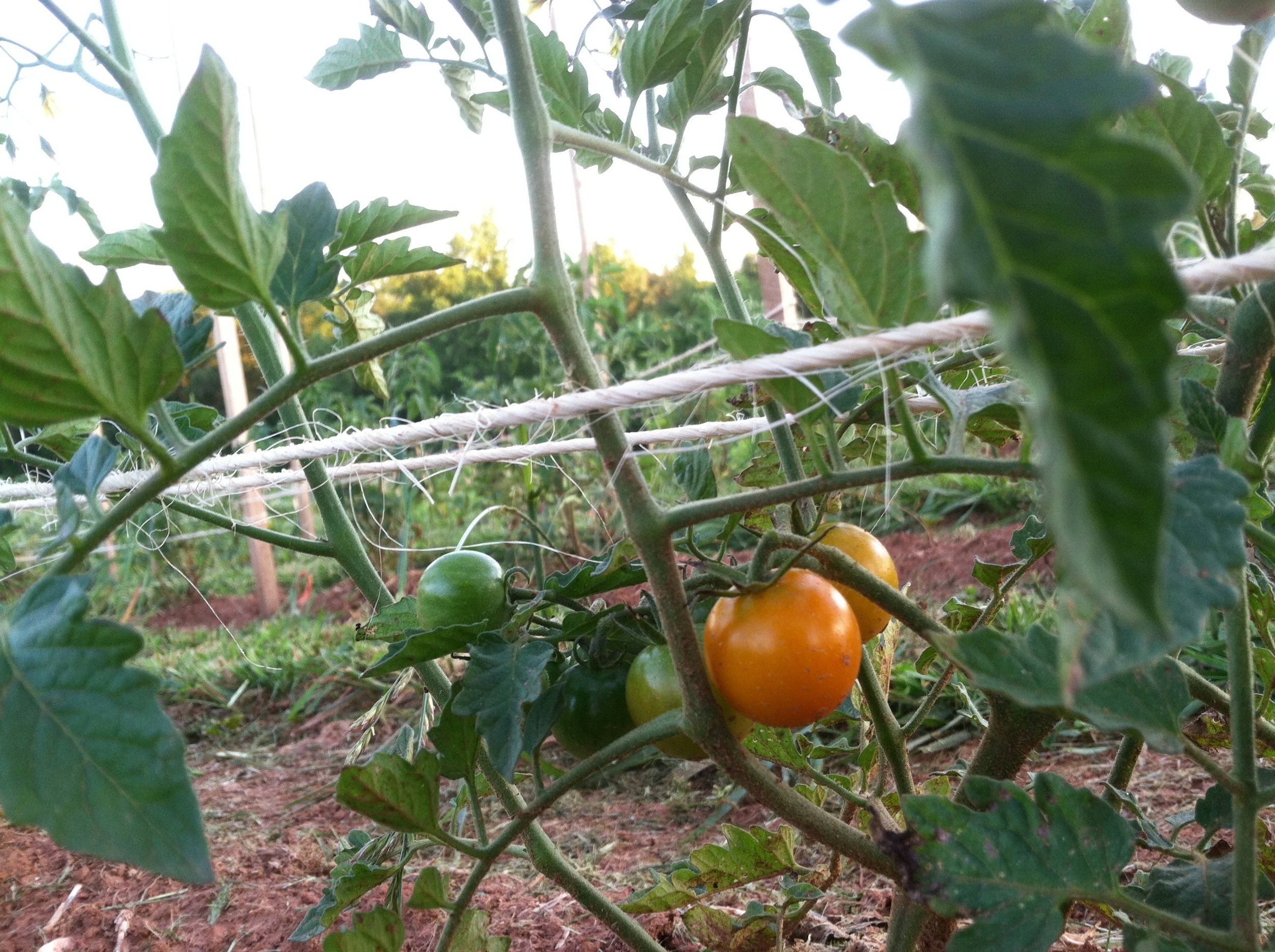 The 35 other tomato varieties aren't quite ready, but these cherries are starting to come on.