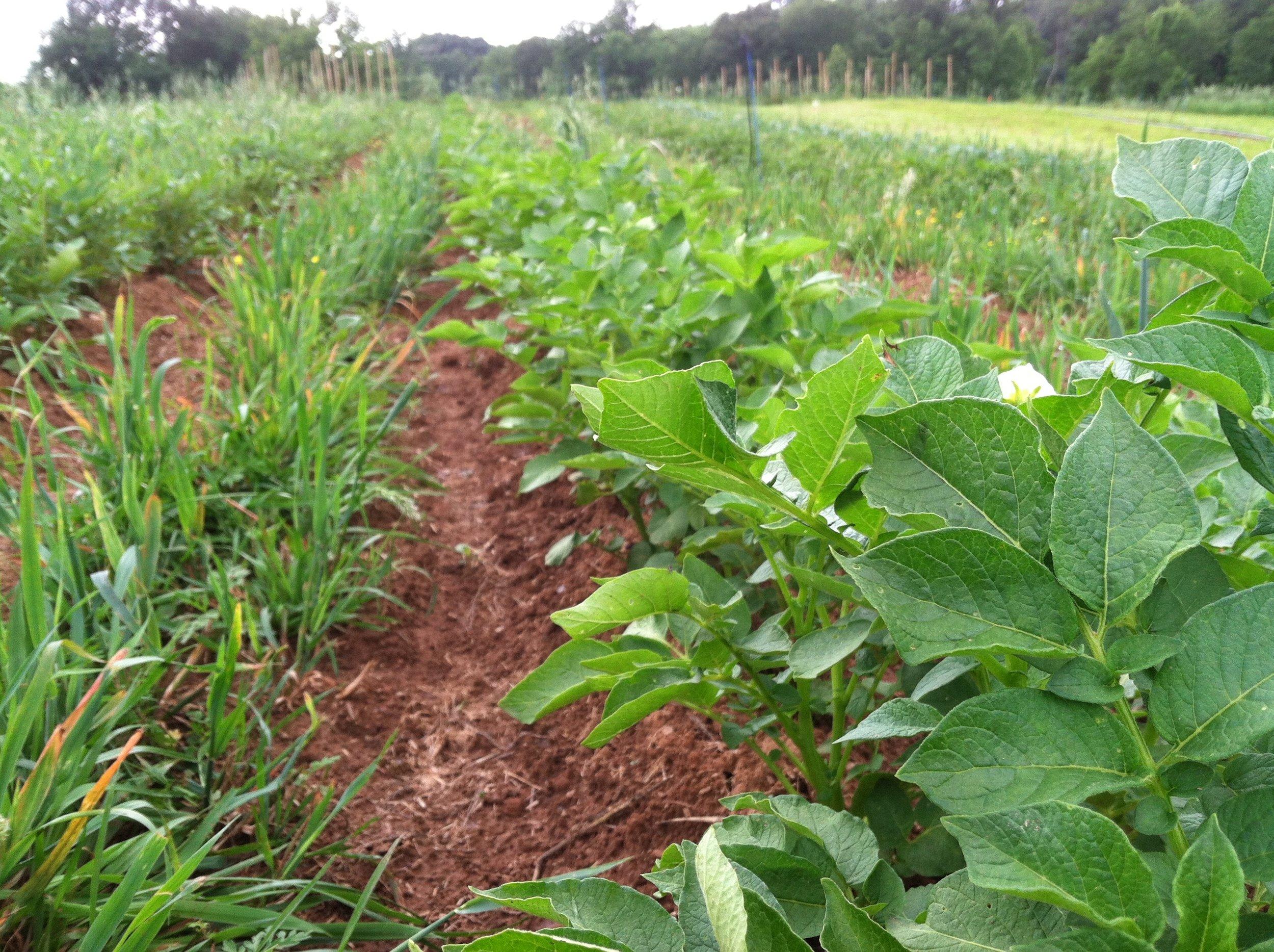 It's always nice to enjoy the potato greenery before colorado potato beetles spoil the party. :)