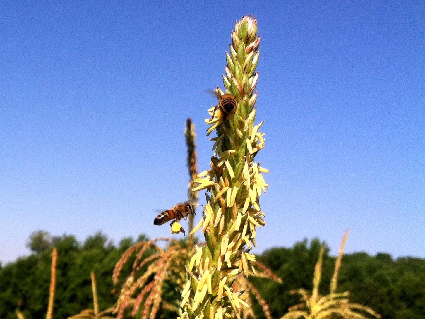 The honeybees fill their pollen baskets as the popcorn tassels.