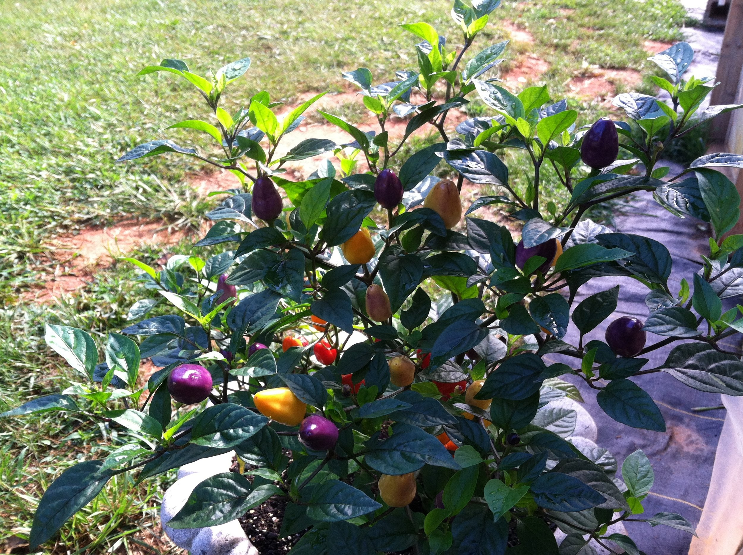'Chinese Five Color' hot pepper. More hot peppers from the field this week.