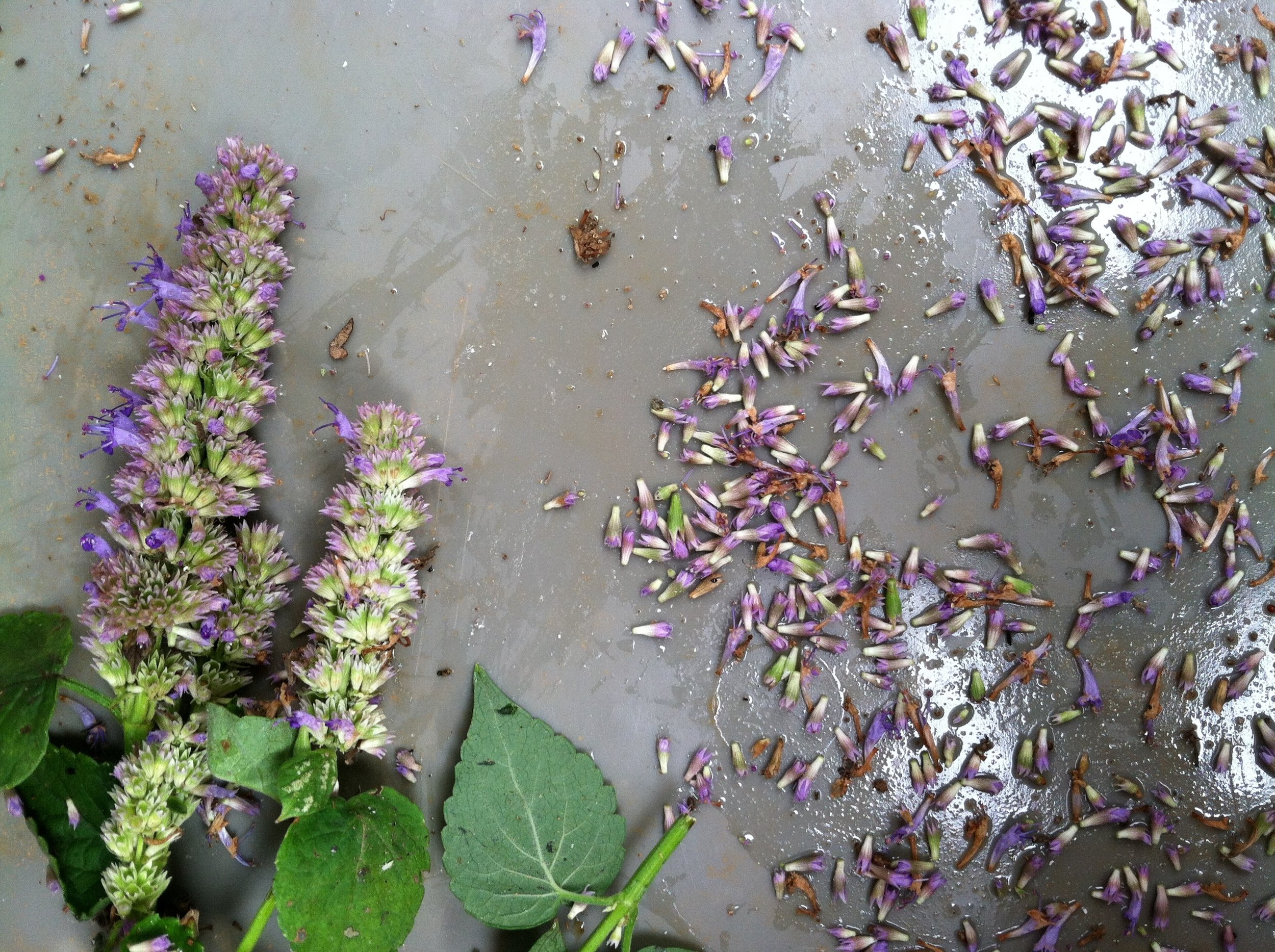 ... or the Anise Hyssop on the way to the herb drier.