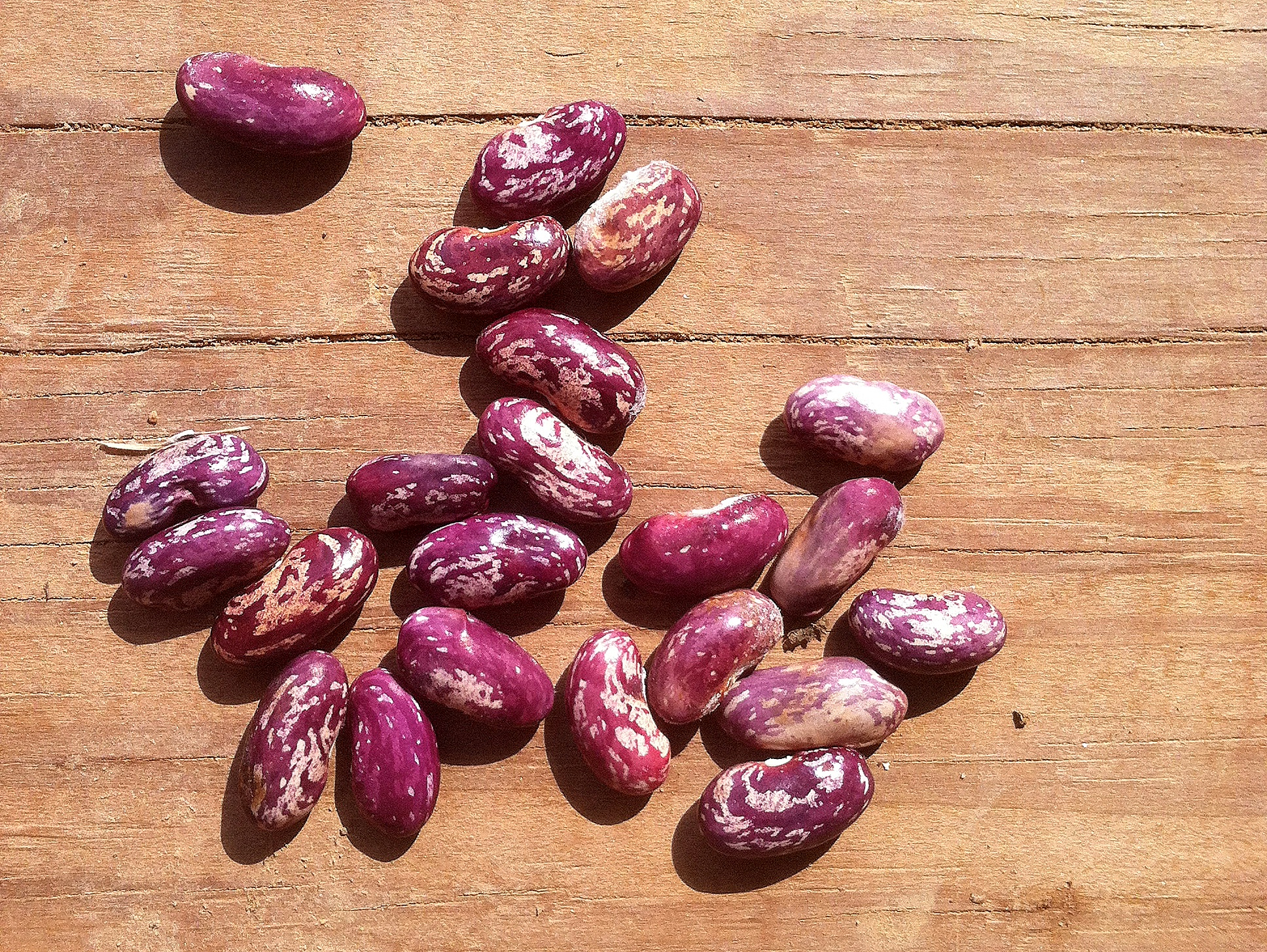 'Kebarika' dry beans in the wash-out of the post-eclipse sun; which eclipse I somehow happened to miss, whilst harvesting this bean directly beneath it. Ha.