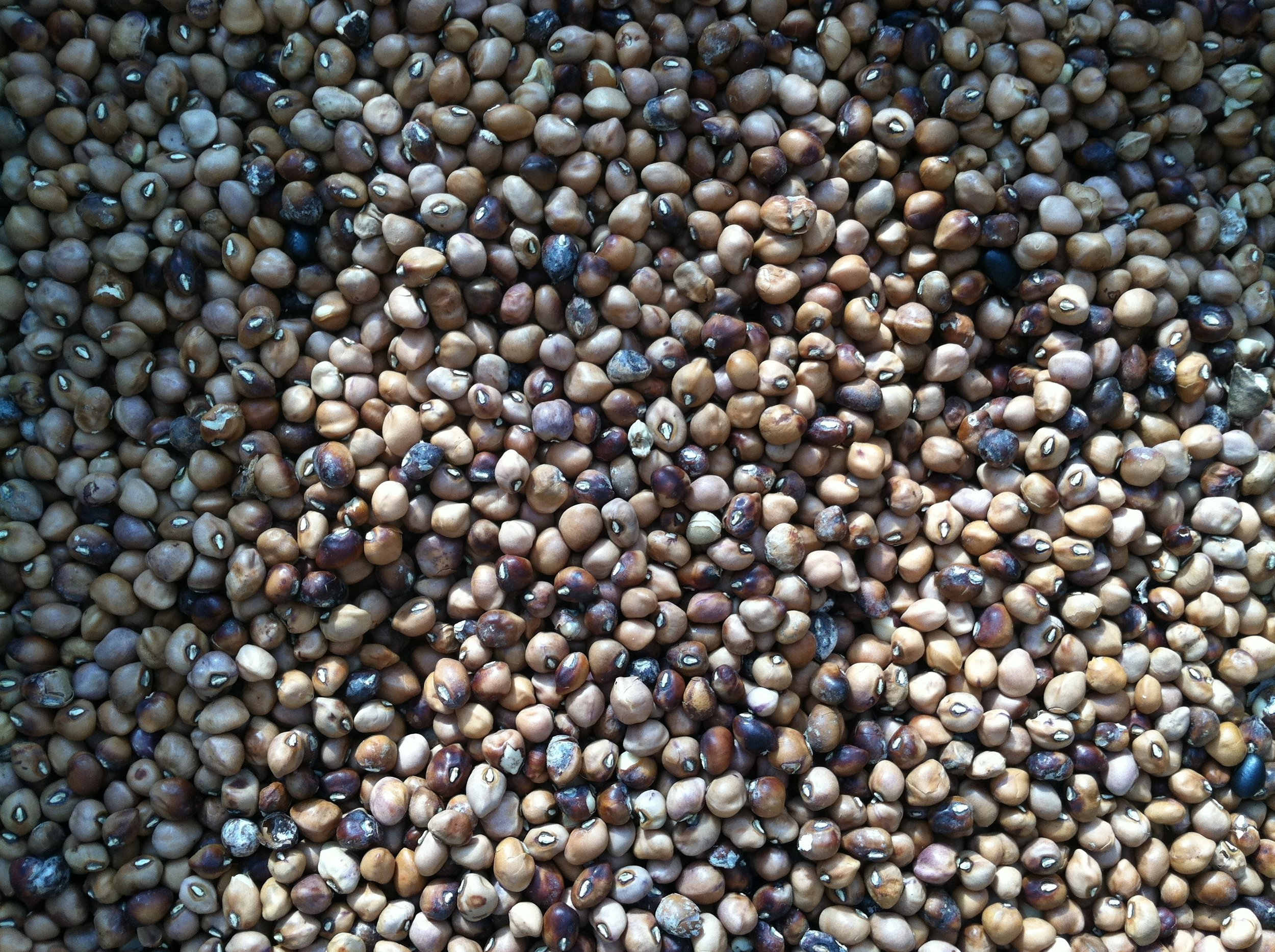 'Carolina Crowder' dry beans, threshed and mostly winnowed. The 'Midnight Black Turtle' are also done. Four more to go.