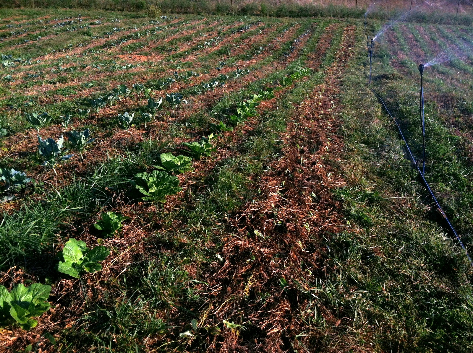 A not-so-great photo of Rotation E's Soybean & Millet roll-killed in-situ mulch, 6 weeks later. That's some wee 'North Pole' lettuce just transplanted in the right-most bed. It's working way better than I thought, so 'Yay!'