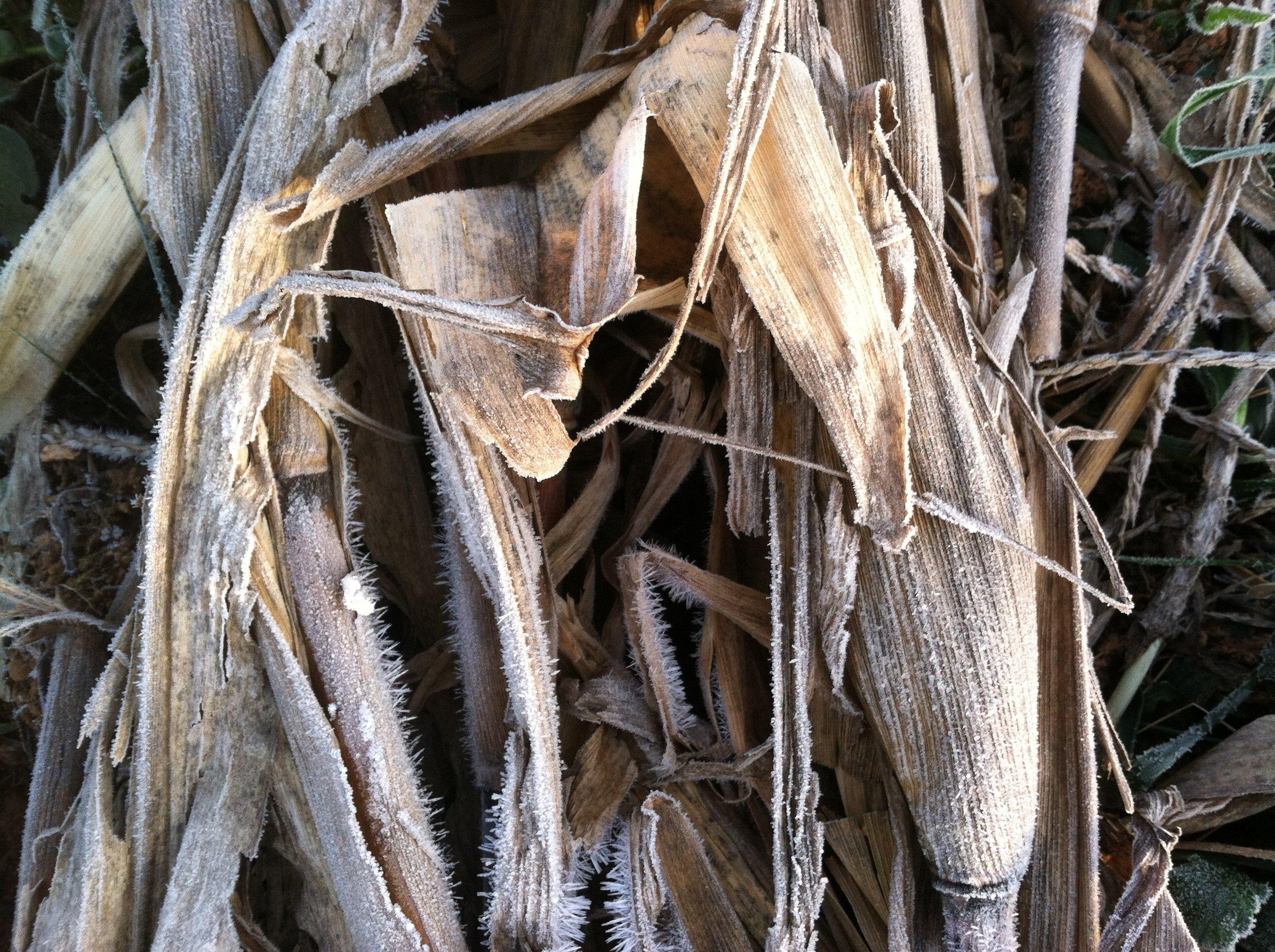 Popcorn stalks laid down.