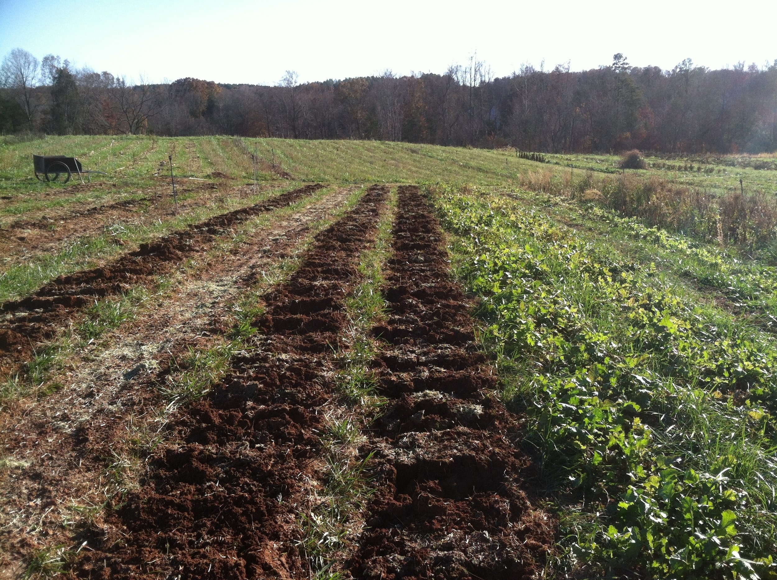 Starting to broadfork the garlic beds, which is a hopeful antidote to the drowning this spring.