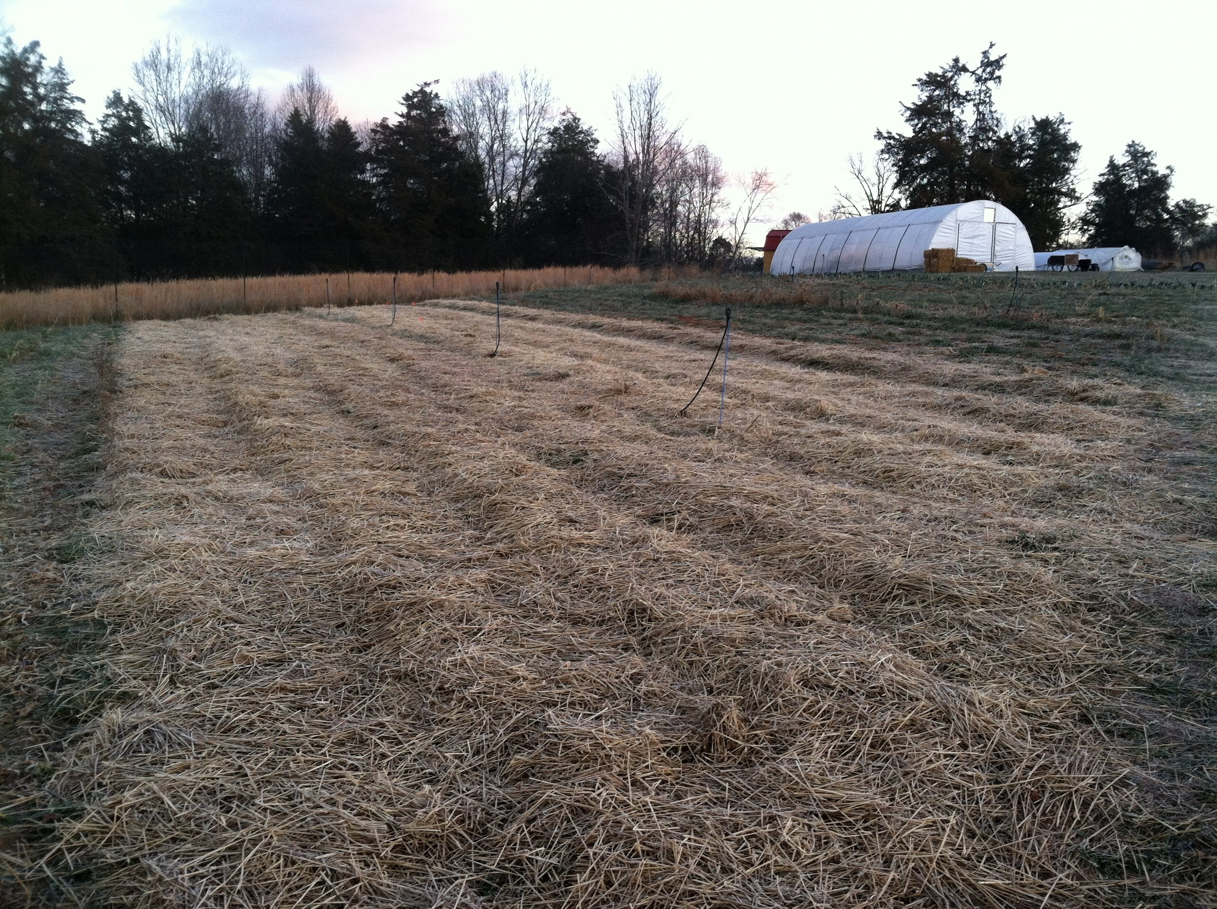Garlic tucked-in for the winter, straw spread on with workshare James.